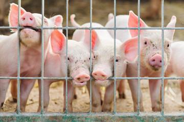 cute piglets on the farm