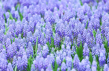 Purple muscari botryoides field