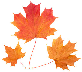 Yellow autumn maple leaves isolated on white background