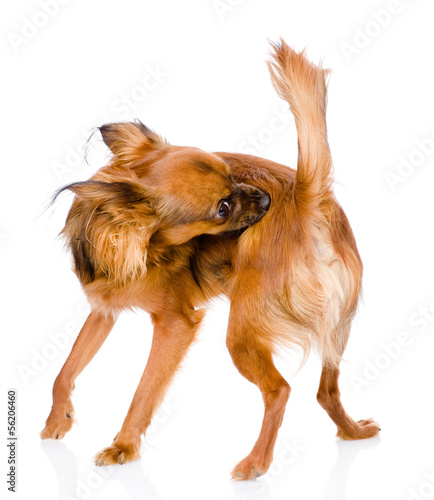 Dog self cleaning tick and flea. isolated on white background