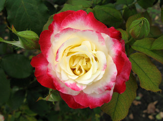White - red rose