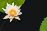 White Water Lily Floating in Tranquil Pond