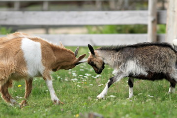 young animals fighting at the farm