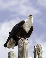 Águila pescadora africana