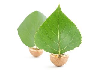 boats walnuts