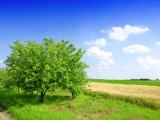 apple tree and cornfield