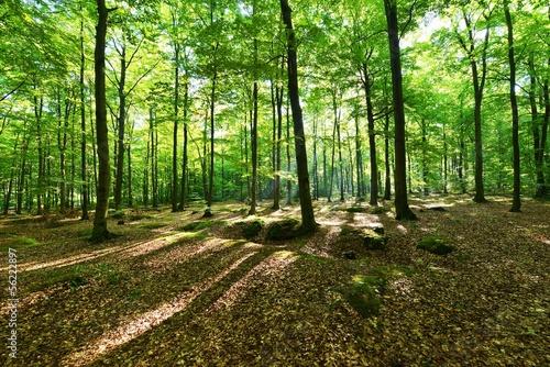 Fototapeten,wald,baum,woodland,holz