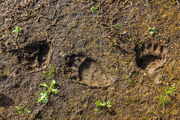 Fresh tracks of a wild bear on the banks of the river