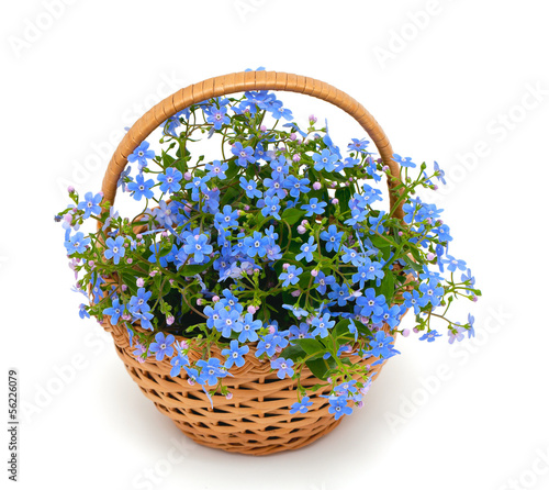 forget-me-not flowers in a basket over white