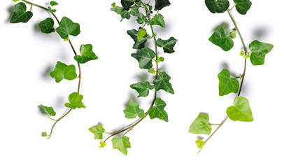 ivy twigs