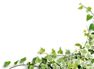 frame of ivy