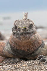 Red male marine Galapagos iguana