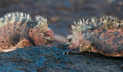 Red male marine Galapagos iguanas fighting