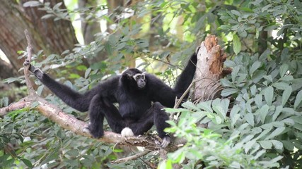 Male white cheeked gibbon