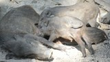 Female Wild boar feeds the babies