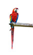 Ara parrot over white background
