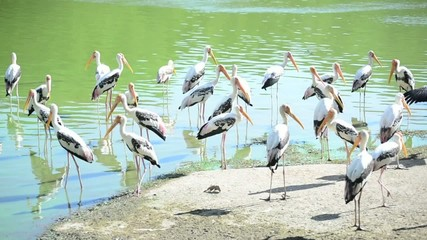 group of painted stork swim in the pond