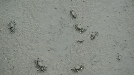 fiddler crabs in the mangrove
