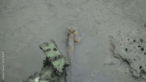 Mudskipper in the wetlands