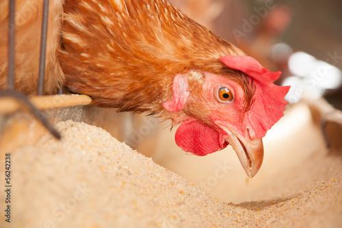 Papiers peints Poules Eggs Chickens on the local farm