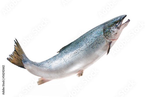 Atlantic salmon
