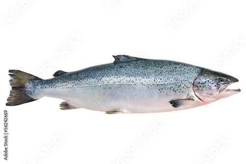 Leinwandbild Motiv Atlantic salmon