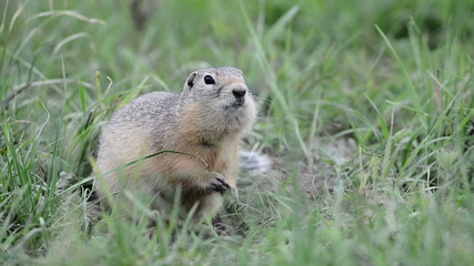Watchful gopher