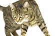 Getigerte Katze 1