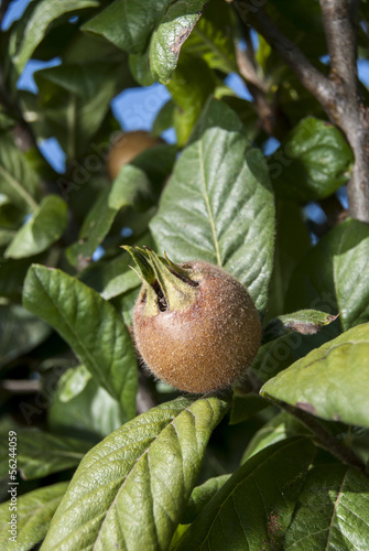 Fresh medlar fruit hanging on tree branch