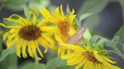 Chameleon lizard on the sunflower branches