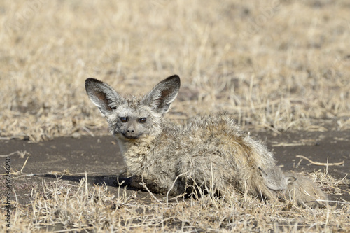 Bat-eared fox with young lying on savannah