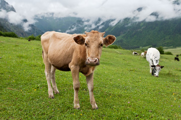 Mountain landscape with cows.