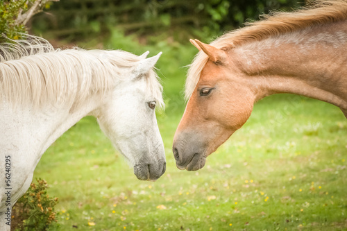 intimate moment between ponies in the New Forest, UK