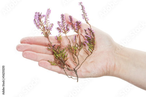 Hand holding dry heather