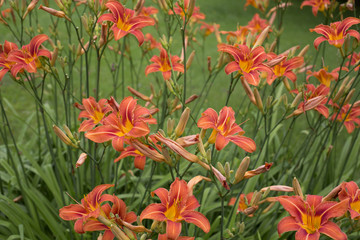 Border Day Lilies Buds