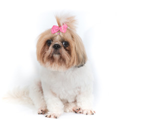 Chi-tzu dog on a white background