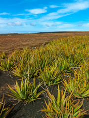 Aloe vera field on Canary Islands