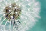 Dandelion fluffy seeds over blue - 56257221