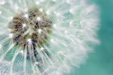 Dandelion fluffy seeds over blue © Sylvie Bouchard