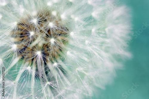 mniszek-puszyste-nasiona-na-niebiesko