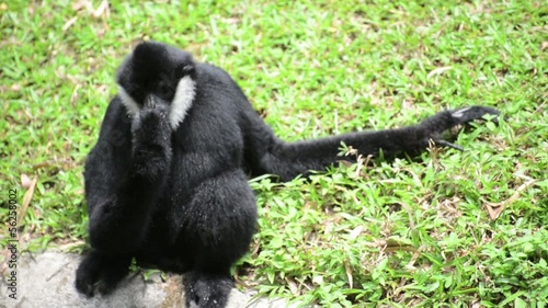 Male white cheeked gibbon drinks water