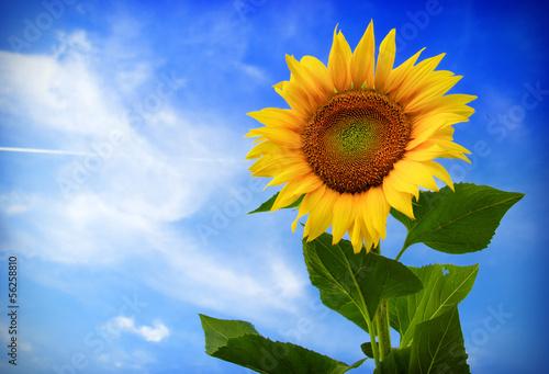 Fotobehang Zonnebloemen Beautiful sunflower against blue sky