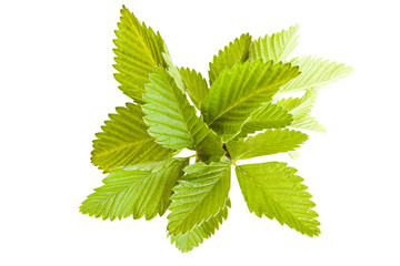 Green leafs of strawberry on a white background