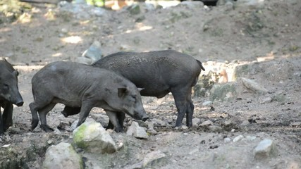 wild boars in the reproductive activities
