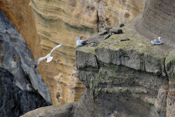 Iceland - seagulls on the cliffs