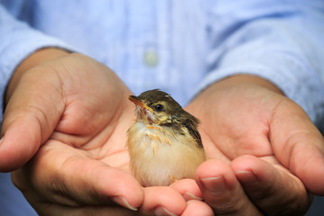 Little sparrow on the palm of human hands