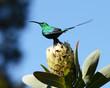 Malachite Sunbird (male) on protea