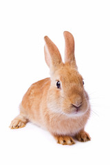 Timid young red rabbit isolated on white background