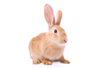 Curious young red rabbit isolated on white background..