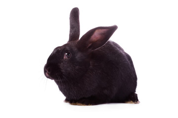 Timid young black rabbit isolated on white background